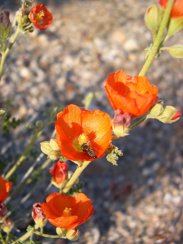 Desert Mallow & Bee