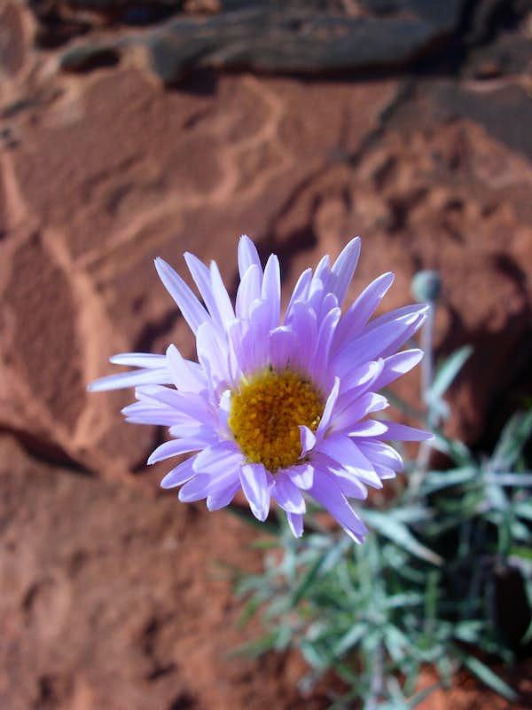Desert Aster