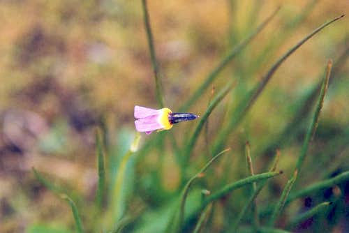 Alpine Shooting Star (Dodecatheon alpinum)