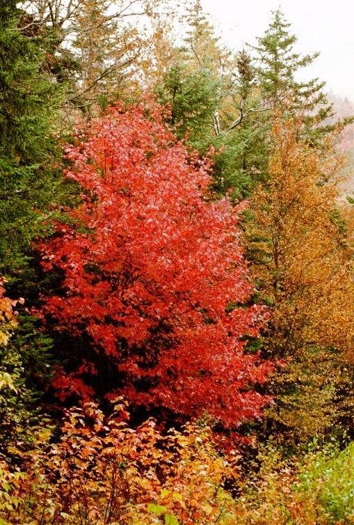 Red Maple at the Flume Trail