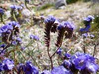 Desert Lavender, Sheephole Mtn