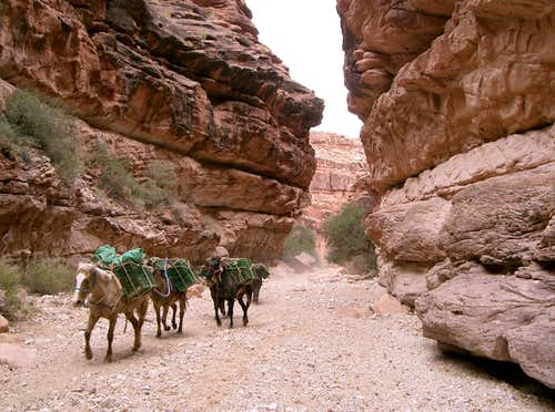 Pack Horses in Hualapai Canyon