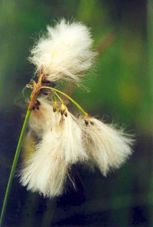 Slender Cotton-grass (Eriophorum gracile)