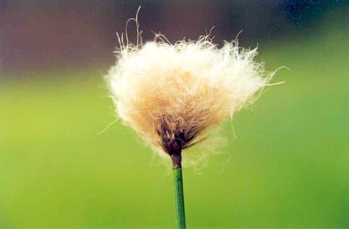 Russet Cotton-grass (Eriophorum chamissonis)