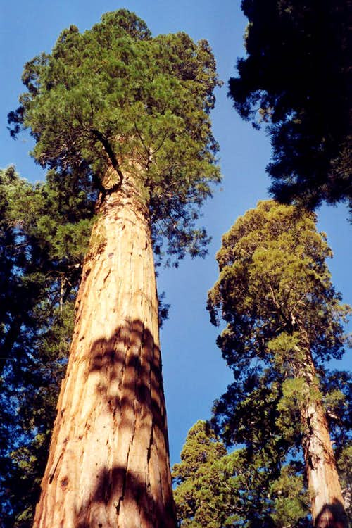 Magnificent Giant Sequoias
