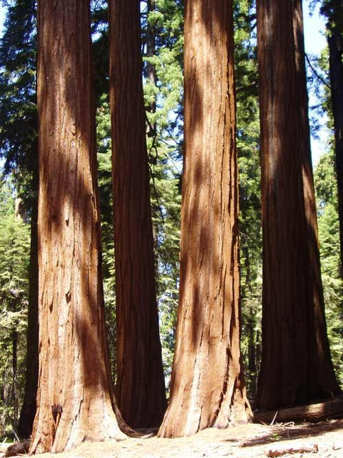 Redwood Canyon Sequoias
