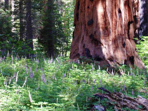 Sequoia and Lupine
