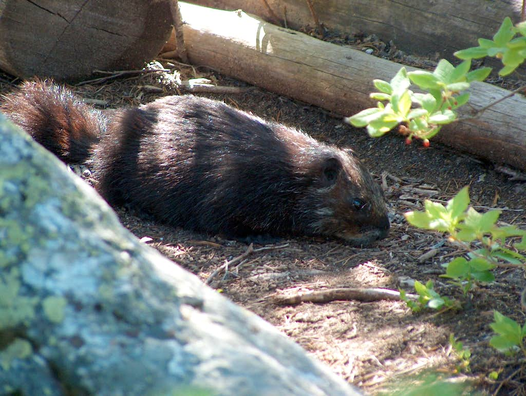 Black Phase Yellow-Bellied Marmot