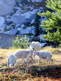 Mountain Goat Family