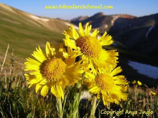Alpine Sunflowers