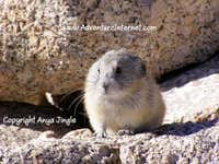 Mount Whitney Pika