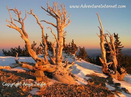 Bristlecone Pines on Mummy