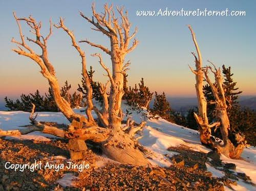 Bristlecone Pines on Mummy