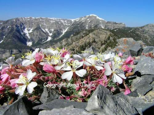 Primroses in Spring Mountains, Nevada