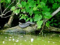 Lake Erie Water Snake