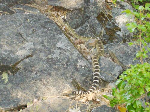 Rattlesnake near the summit
