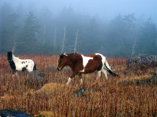 Wild Ponies In Grayson Highlands