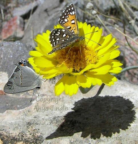 Insects enjoying  Marigold in Nevada desert
