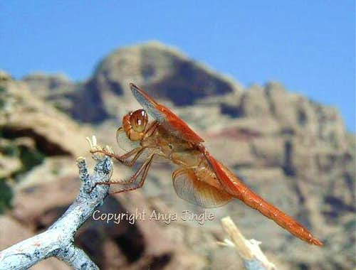 Dragonfly in Red Rock of Nevada