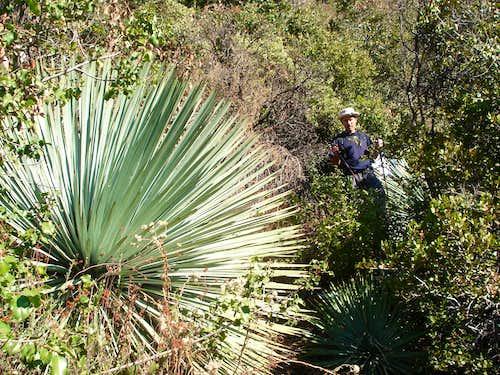 Trail to Allison mine - yuccas