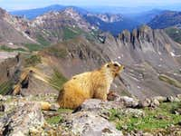Marmot on the summit of Wetterhorn