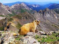 Marmot on the summit of Wetterhorn