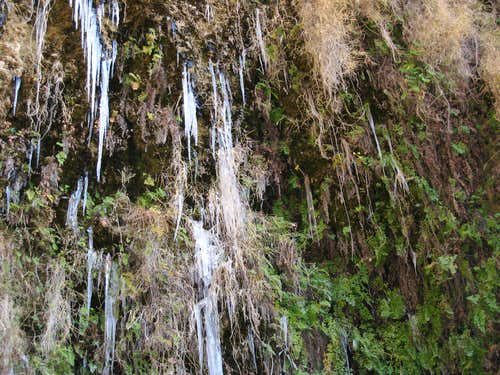Icicles Decorating Fern Plants, Allison Gulch, San Gabriel Mountains