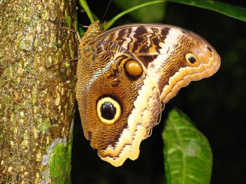 Owl butterfly - photo#23