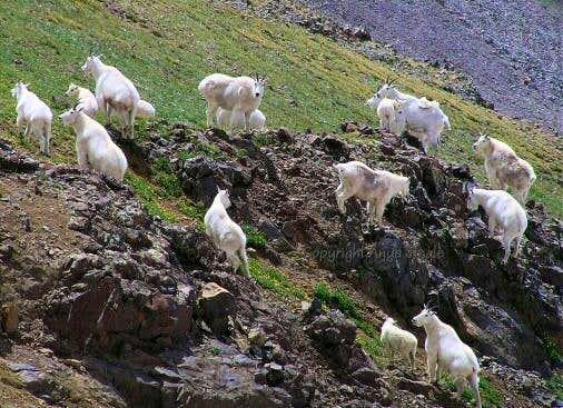 White Mountain Goats