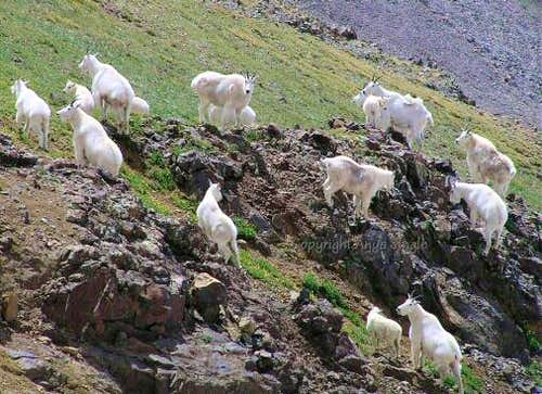 White Mountain Goats