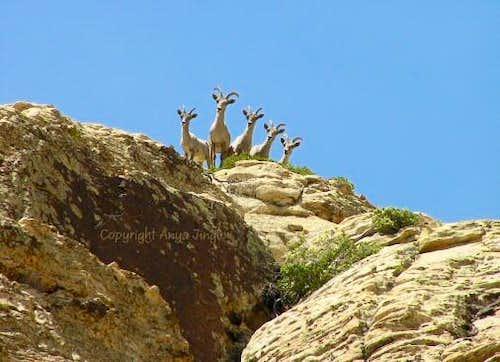 Curious Bighorn Sheep Ewes