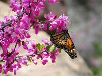 Monarch Butterfly on Redbud Tree