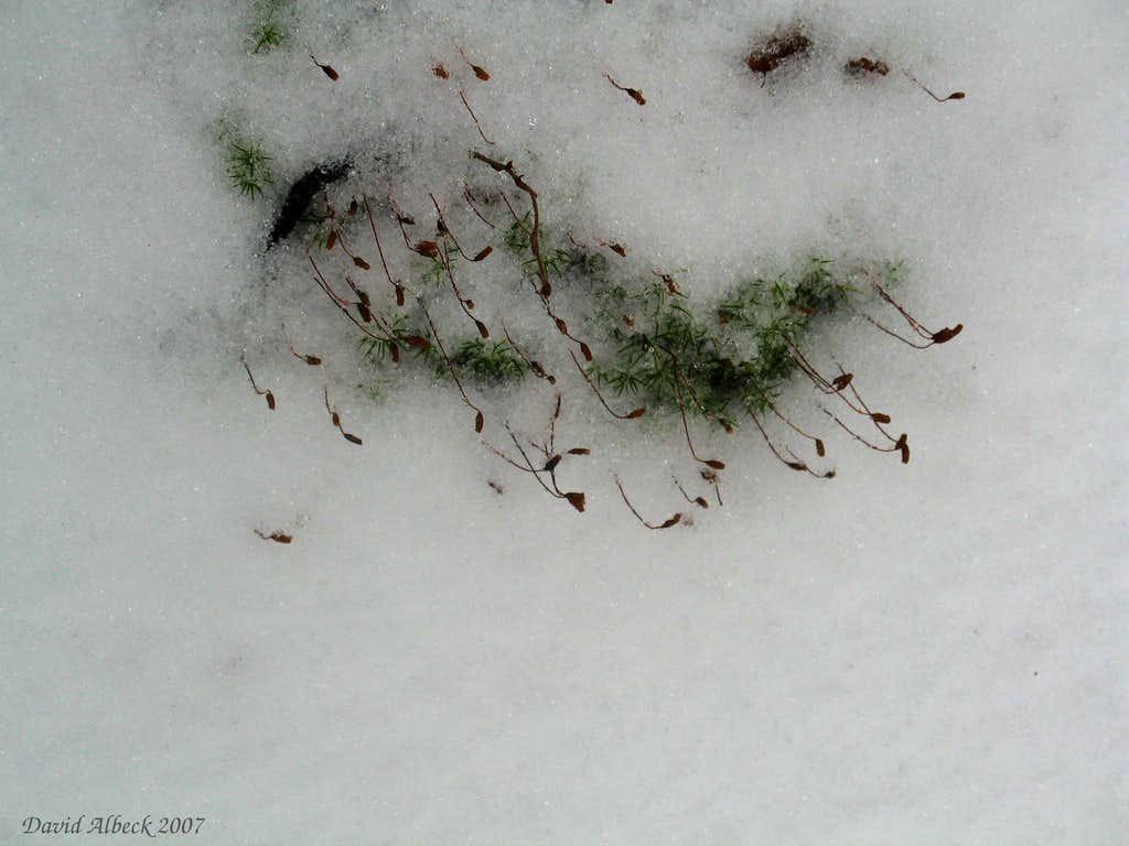 Moss in snowbank