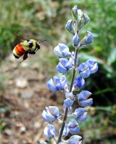 Bee on route to Lupine flower