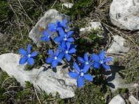 Blue Stars, Gentiana Verna