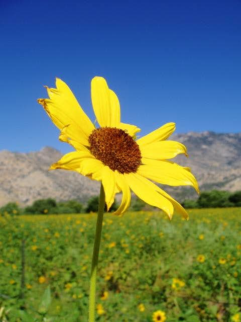 South Fork Kern Sunflower