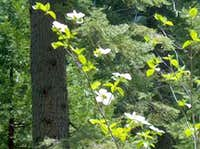 Spray of Dogwoods