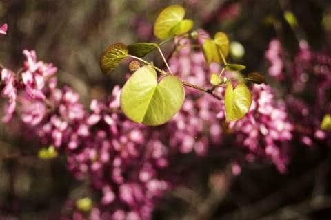 Redbud Leaf and Flowers