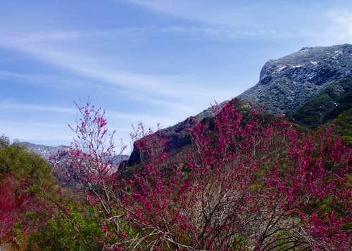 Tule Canyon Redbud