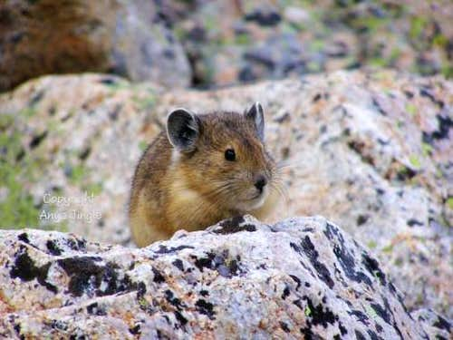 Mount Bross Pika
