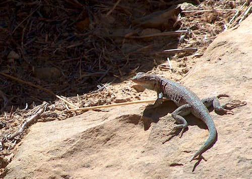 Sunning Side-Blotched Lizard