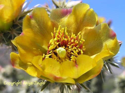 Cholla Cactus Bloom