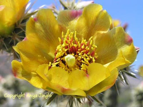 Cholla Cactus Bloom