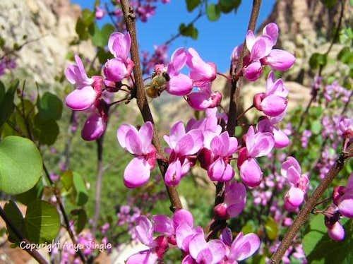 Western Redbud in Bloom