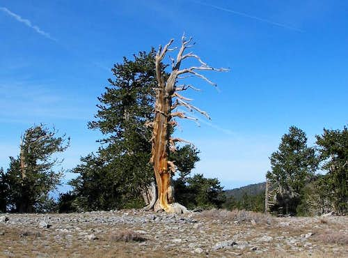 Bristlecone majesty