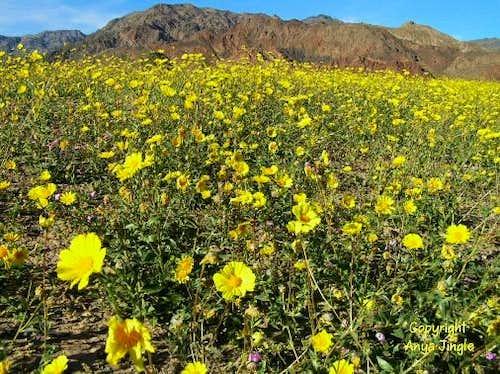 Death Valley 100 Year Bloom