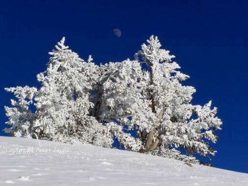 Snowy Bristlecone Pines