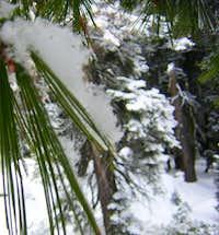 Pine Needle Avalanche