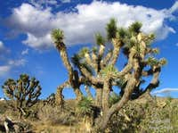 Joshua Trees of Red Rock