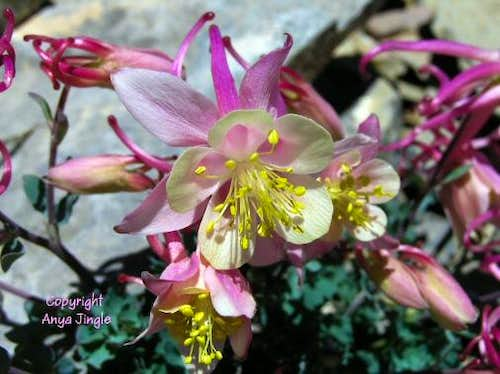 Flora of Mount Charleston